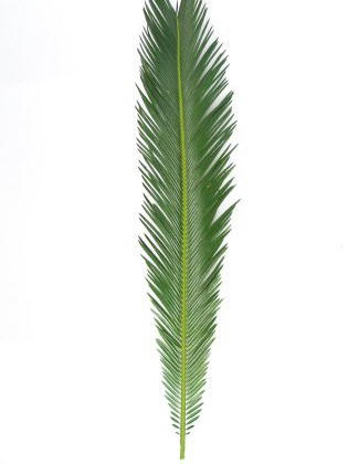 Extra Long Sago Leaf Palm palm, palm sunday, easter, ash, ash wednesday, lent, palm strips, decorative palm, sago, SL, XLS
